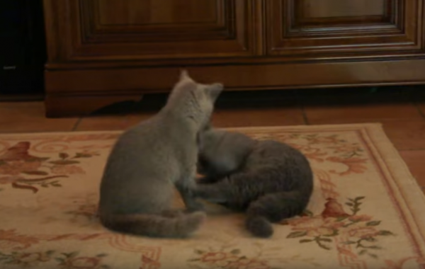 Maia and Toto British Shorthair Playing