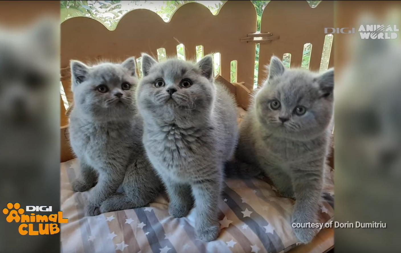 Felisa Outstanding Cats – Digi