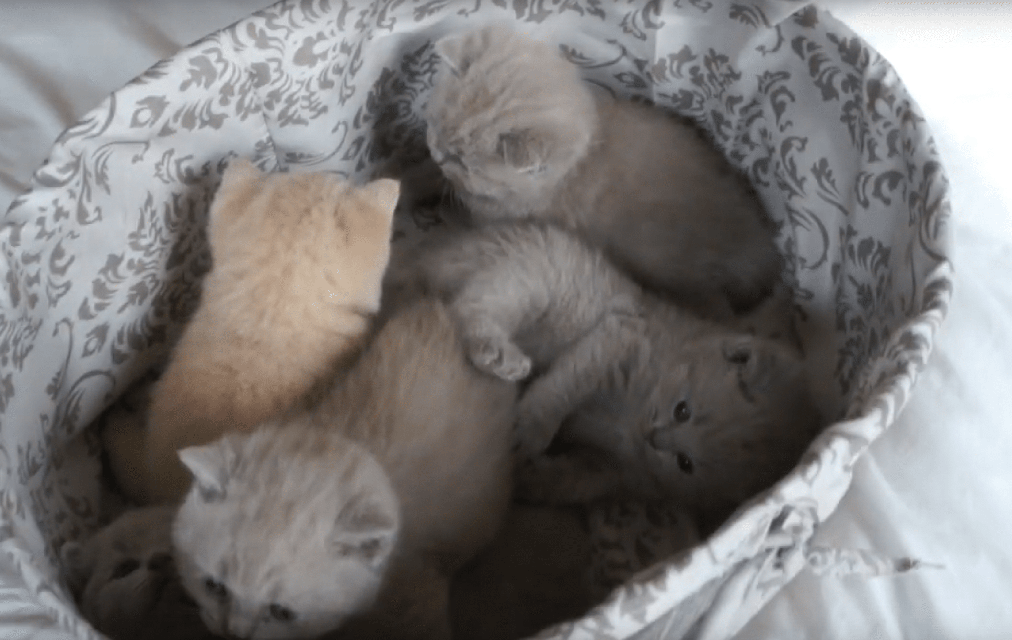 VIDEO – British Shorthair Kittens Compilation from Birth to 1 Month Old (Outstanding Cats Cattery, Litter A)